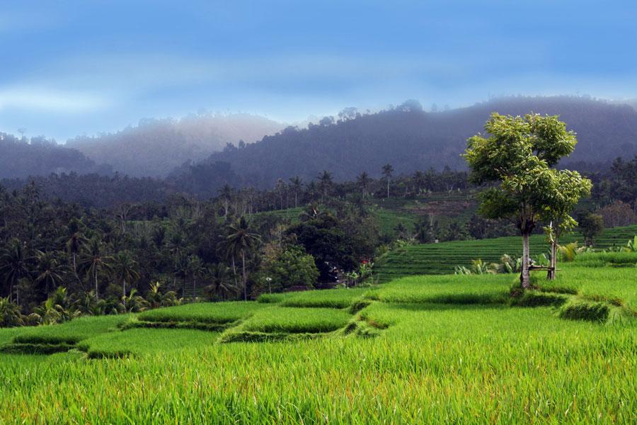 Rice Terraces Near Kelapa Retreat